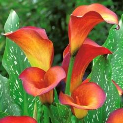 Calla Plamen; arum lilija, calla lily -