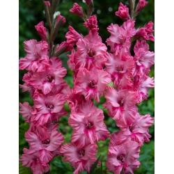 Gladiolas Kingston - 5 gab. Iepakojums - Gladiolus Kingston