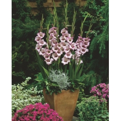 Gladiolus Vera Lynn - 5 gab.; zobenu lilija -