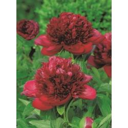 Peony، Paeonia - جذابیت قرمز - گیاهچه -