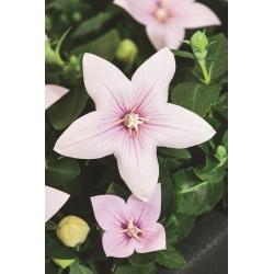 Platycodon, hoa Balloon - Fuji Pink; Hoa chuông -