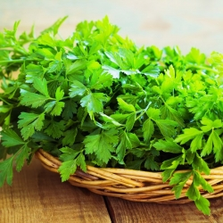 Leaf parsley 'Natalka' - smooth and aromatic leaves