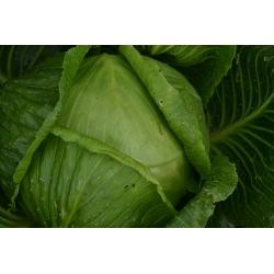 Valge kapsas- Replika -  Brassica oleracea var.capitata -Replika - seemned