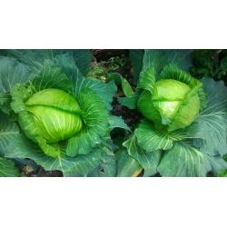 Valge kapsas - Szarada Późna -  Brassica oleracea var.capitata - Szarada Późna - seemned
