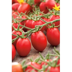 Dwarf field tomato 'Lambert' - medium early, extremely productive variety recommended for purees
