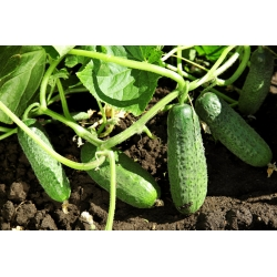 Cucumber 'Gomes' - medium early, extremely productive variety ideal for short pickling
