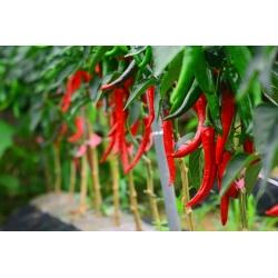 Hot pepper 'Cayenna'