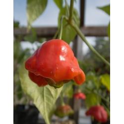 Piment - Bell -  Capsicum baccatum - graines