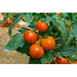 Dwarf field tomato 'Lolek' - extremely late, orange variety recommended for long-term storing