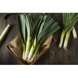 Porrulauk Baca -  Allium porrum - Baca - seemned