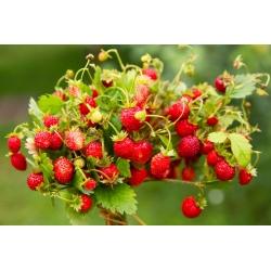 Fresa silvestre -  Fragaria vesca - semillas