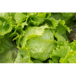 Iceberg lettuce 'Kwiryna' - early field variety