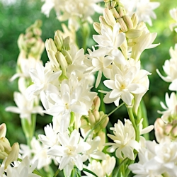 Polianthes, Tuberose The Pearl - 2 bulbs - Polianthes tuberosa