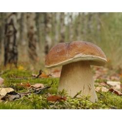 Penny bun, cep, porcino, porcini – fresh spawn (mycelium) – larger package