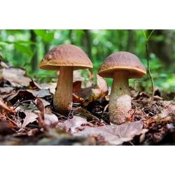 Rough-stemmed bolete, scaber stalk, birch bolete – fresh spawn (mycelium) – larger package
