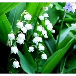 Convallaria Majalis, Lily of the Valley - củ / củ / rễ