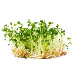 BIO EKO Sprouting seeds - Arugula - certified organic seeds; rocket