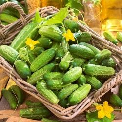Cucumber 'Cornichon de Paris' - TREATED SEEDS