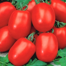 Dwarf field tomato 'Awizo' - early, very productive, resistant to potato blight