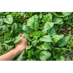 Spināti - Winter Giant - 500 grami -  Spinacia oleracea - seemned