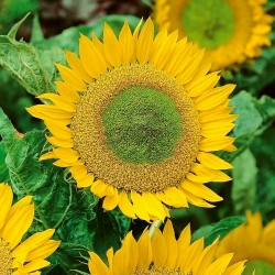 Dwarf ornamental sunflower - Green Hobbit - for cultivation in pots