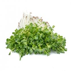Hạt giống nảy mầm BIO - củ cải Daikon - hạt hữu cơ được chứng nhận; Củ cải trắng, củ cải mùa đông, củ cải phương Đông, củ cải trắng dài -