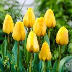 Тюльпан Golden Apeldoorn - пакет из 5 штук - Tulipa Golden Apeldoorn