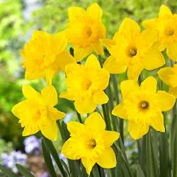 Narcissus - Dutch Master - paquete de 5 piezas