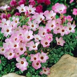 Oxalis Adenophylla - 5 gab. Iepakojums