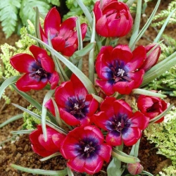 Tulipa Liliput - paquete de 5 piezas