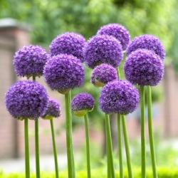 Allium Gladiator - bebawang / umbi / akar