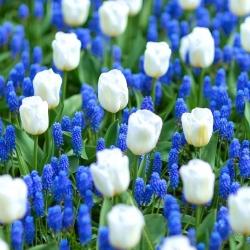 White–blue meadow – White tulip and Armenian grape hyacinth