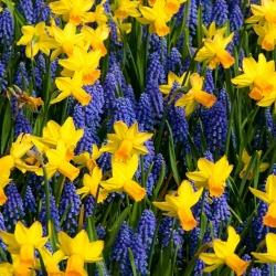 Kék-sárga szett - szőlő-jácint + jonquil - 60 db -