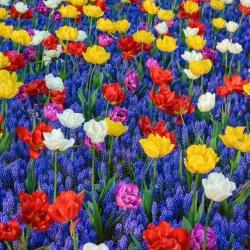 Pemilihan tulip berwarna-warni dengan hiasan anggur Armenia biru - 50 pcs -