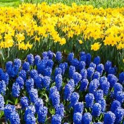 Blue–flowered hyacinth and jonquil – 40 piece set