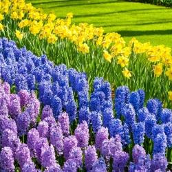 Jonquil, lavender–flowered hyacinth and blue hyacinth – 28 piece set