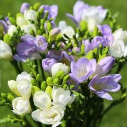 Ühe lille valge ja sinine freesia - 60 tk -