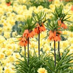 Оранжевая корона имперская и желтый нарцисс - набор из 18 -