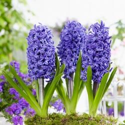 Giacinto - Blue Pearl - pacchetto di 3 pezzi - Hyacinthus