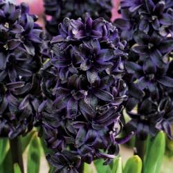 Hyacinthus Dark Dimension - Hyacinth Dark Dimension - củ / củ / rễ
