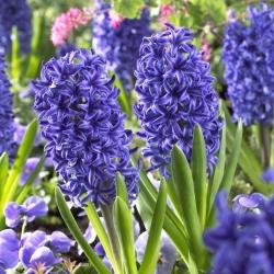 Hyacinthus Blue Jacket - Hyacinth Blue Jacket - 3 bulbs
