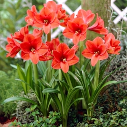 Hippeastrum – Amaryllis - Orange Souvereign
