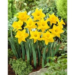Narcissus Unsurpassable - Narastajúci Narcis - 5 kvetinové cibule