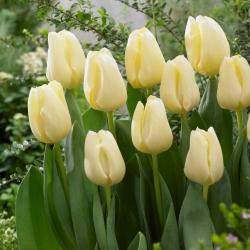 Tulipa Cheers - Tulip Cheers - 5 kvetinové cibule