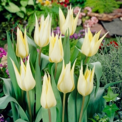 Tulipa Sapporo - Tulip Sapporo - 5 lampu - Tulipa Saporro