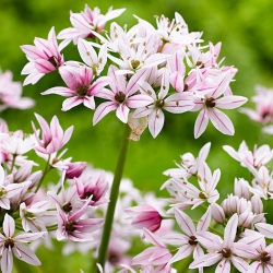Allium Cameleon - 5 bebawang