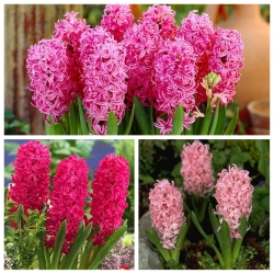 Hyacinth – Red and pink set – 27 pcs
