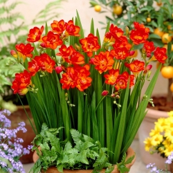Freesia - Double Red - pakend 10 tk