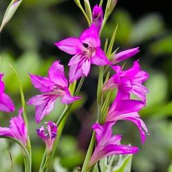 Gladiolus Byzantinus - 10 bulbs