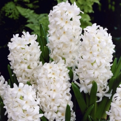 Hyacinthus Carnegie - Hyacinth Carnegie - 3 bulbs